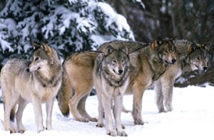 Are you the father? The wolfpack has your back